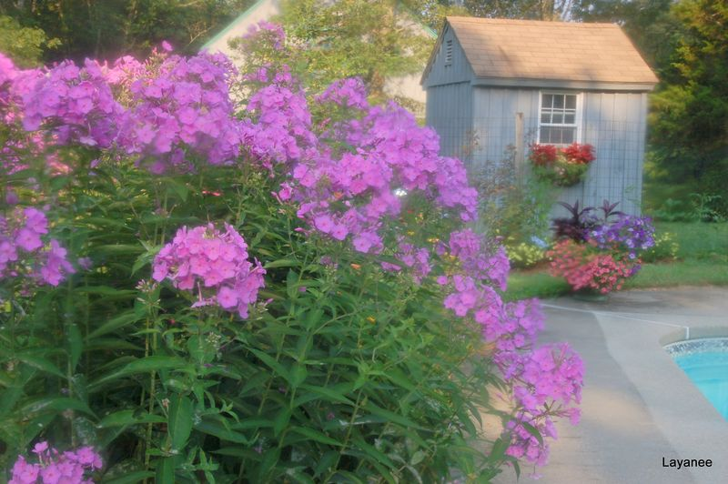 Phlox in the morning