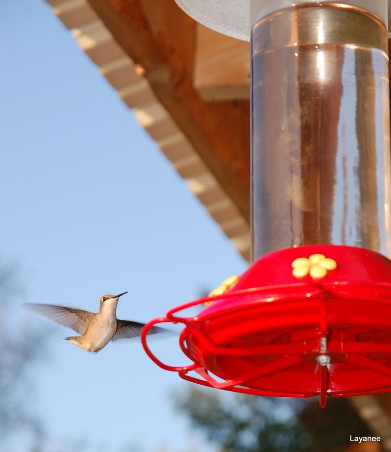 Hummingbird about to land