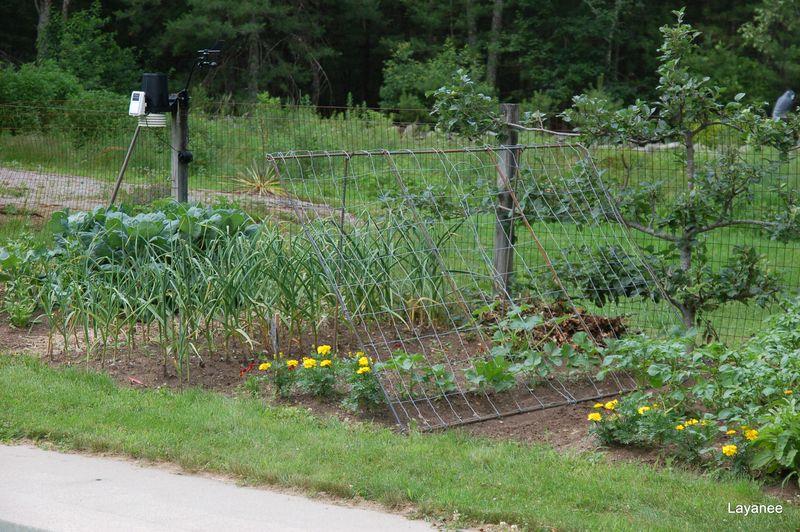 Veg garden end of June