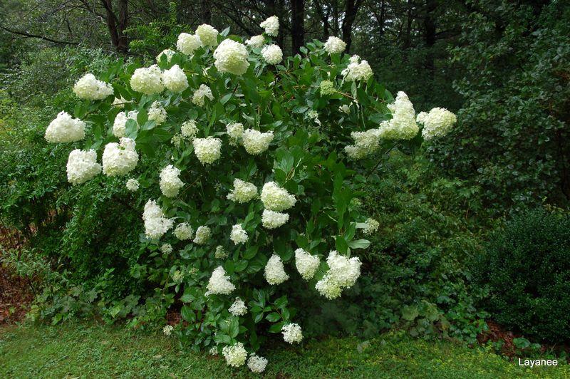 Hydrangea p. 'Limelight'