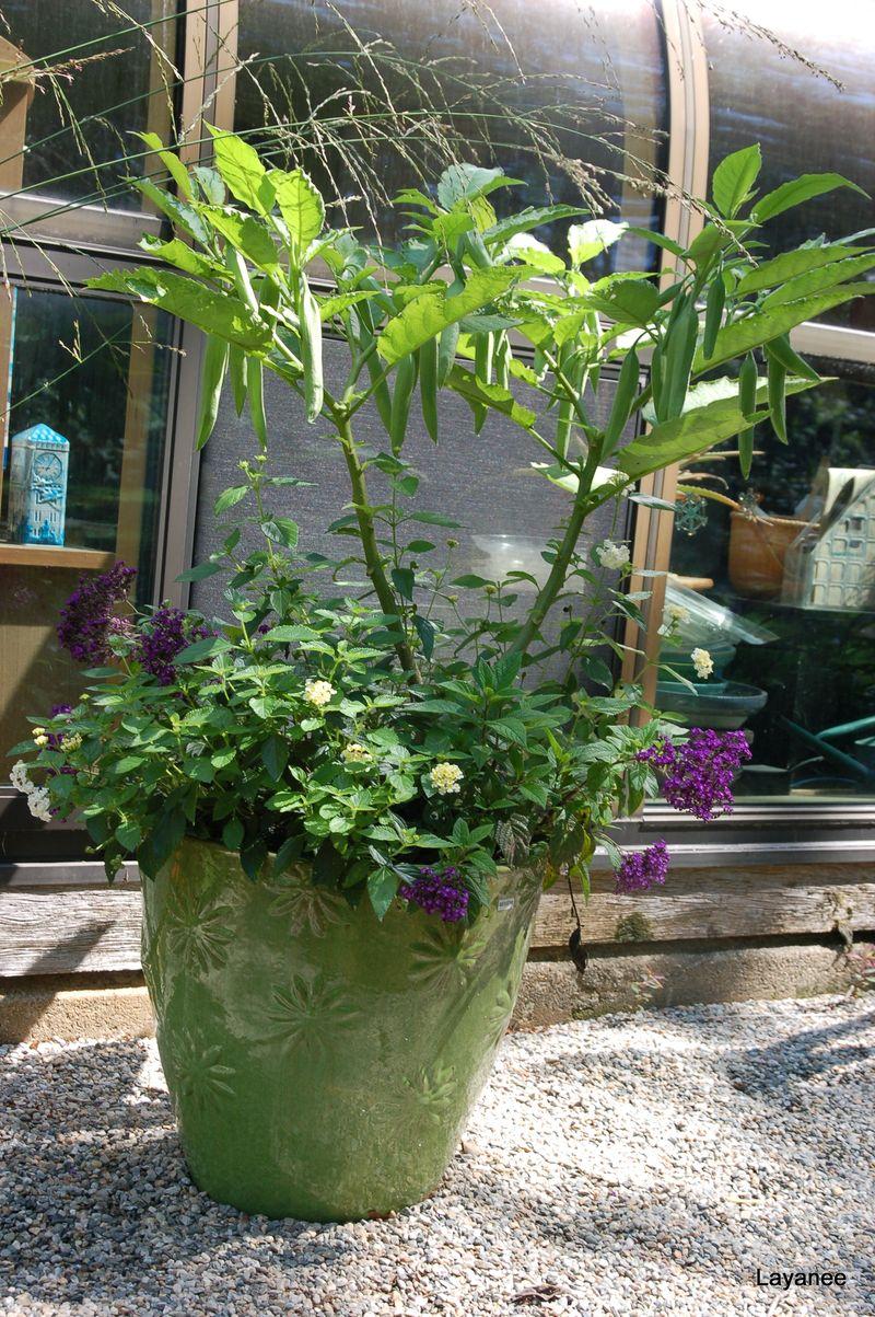 Brugmansia in bud