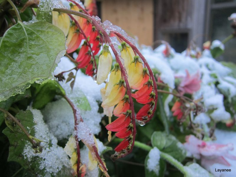 Mina lobata and snow