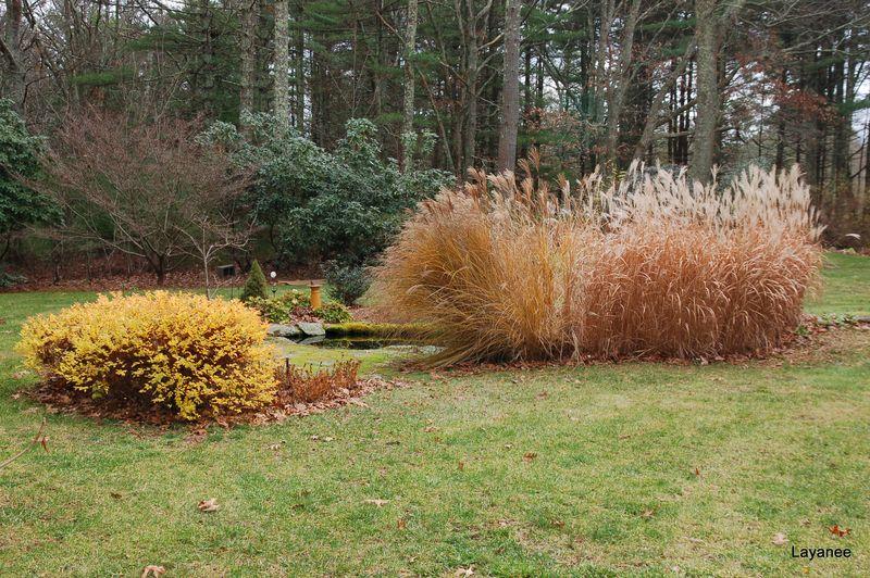 Buff grasses