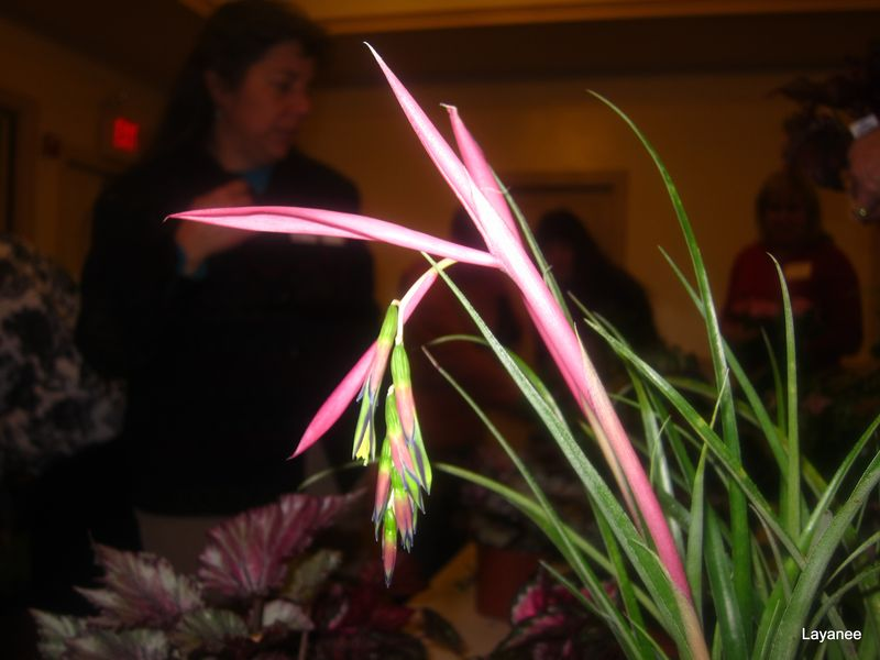 Billbergia flower