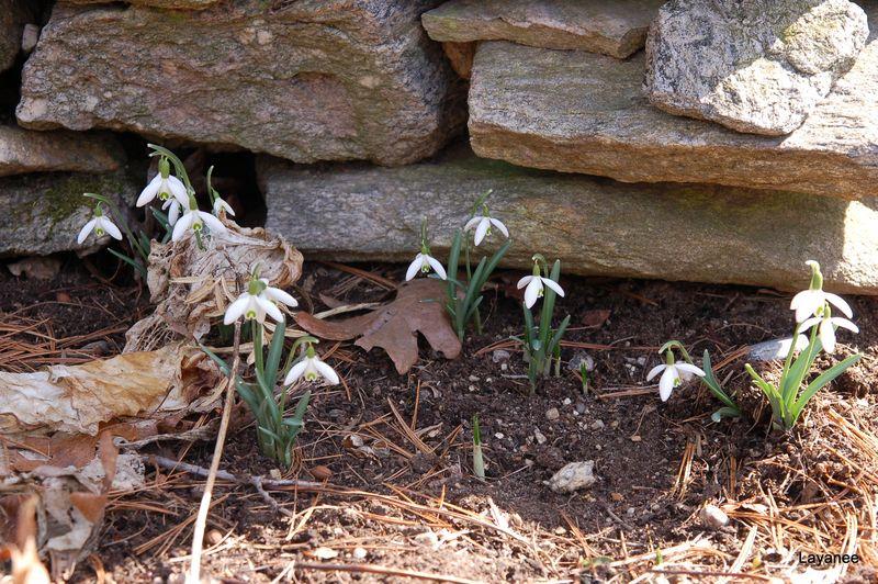 Galanthus nivalis 5