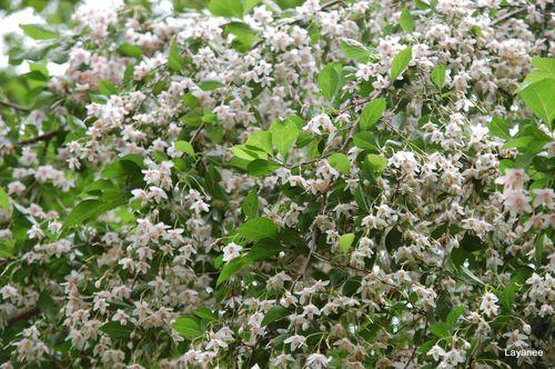 Styrax flowers
