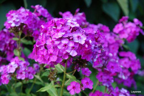 Garden phlox - Phlox paniculata