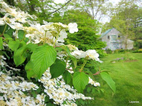 Viburnum plicatum tomentosum 'Shasta'