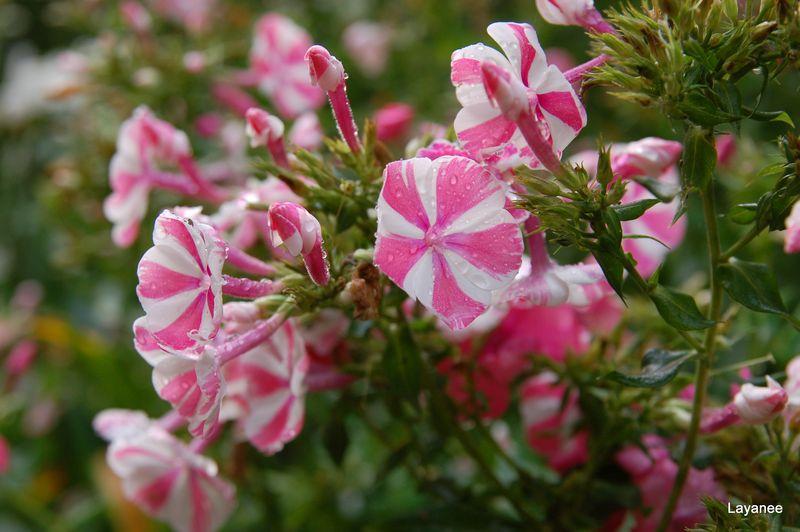 Phlox paniculata 'Peppermint Twist'