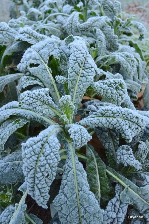 Frost on the kale