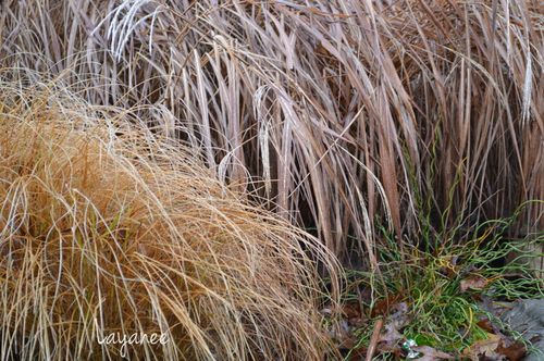 Pennisetum and Miscanthus