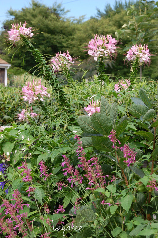 Cleome and hyssop