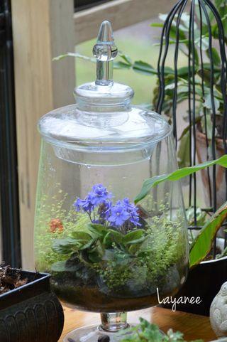 Violet in terrarium