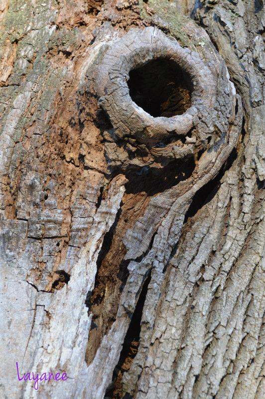 Furrowed bark