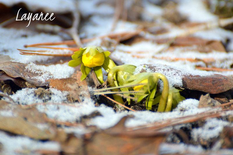 Winter Aconite