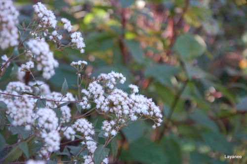 Eupatorium 'Chocolate'