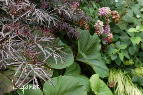 Sambucus and petasites