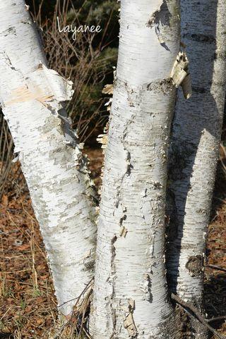 Paperbark birch