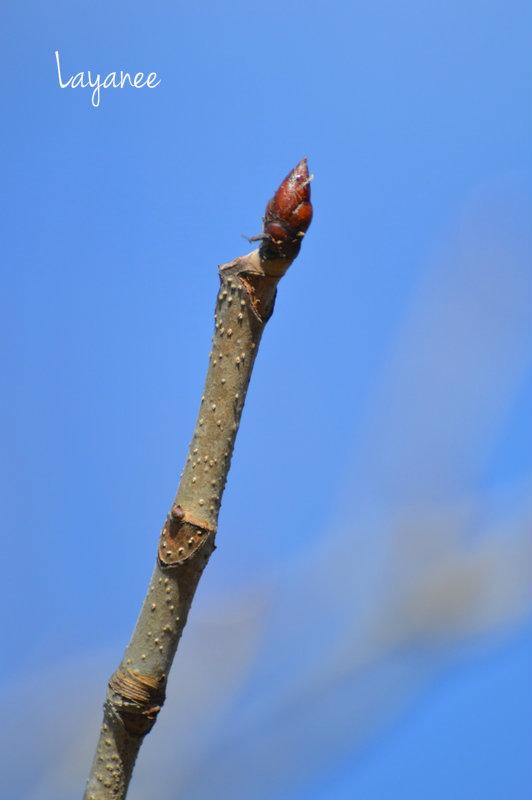 Terminal bud, leaf scar lenticels