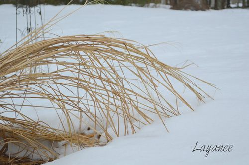 Grass bent in the snow