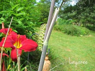 IMG_1288-Monarch caterpillar