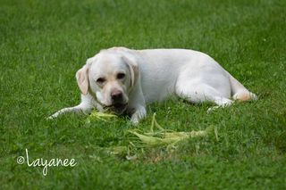 Cooper eating corn