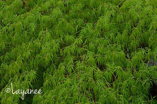 Green Jap maple