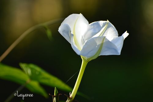 Moonflower 2