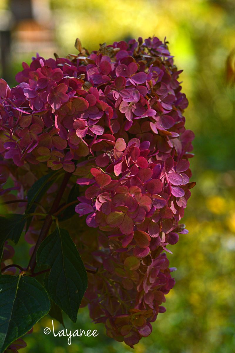 Hydrange 'Vanilla Strawberry'