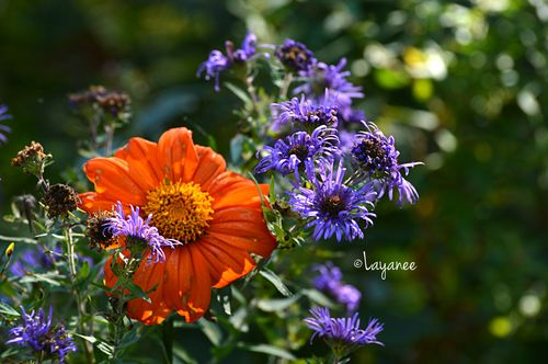 Tithonia and aster