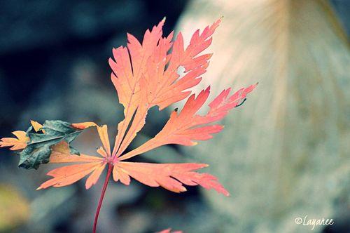 Aconitifolium leaf