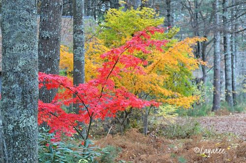 Japanese maple - red