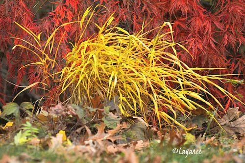 Yellow hakone grass