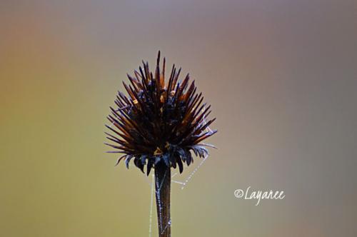 Echinacea seedhead