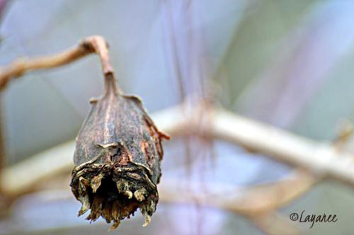 Sinocalycanthus seedhead