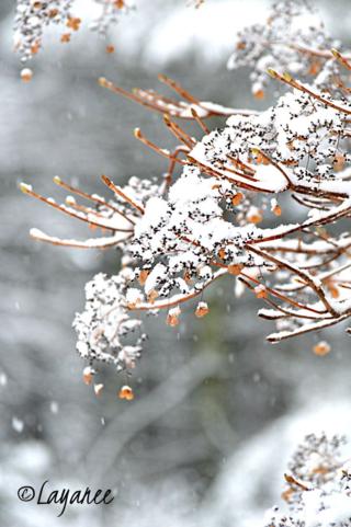 Hydrangea p. snow