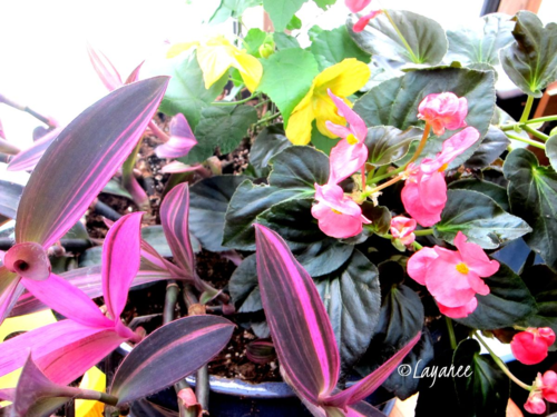 Begonia, setcreasea and maple