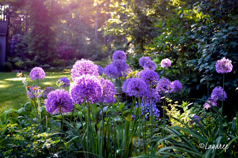 Parade of Alliums