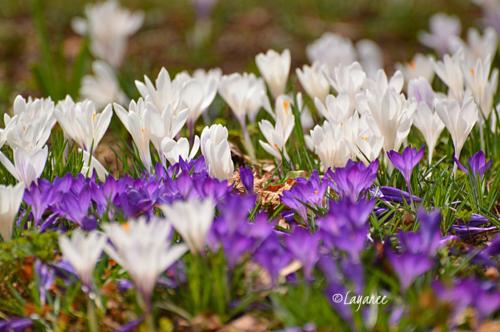 White and purple crocus