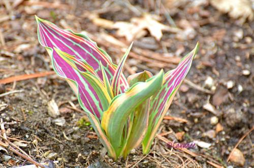 Hearts a Fire tulip