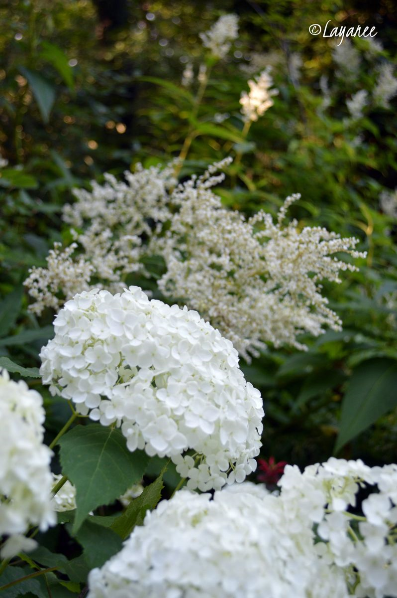 H. arborescens with Persicaria