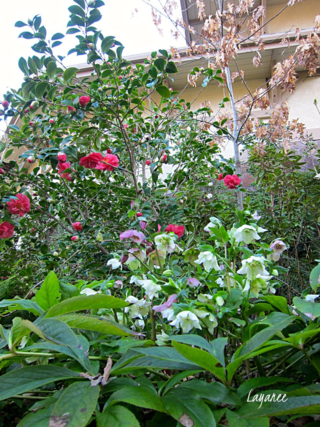 Camellias and Hellebores