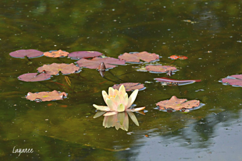 Follers waterlily
