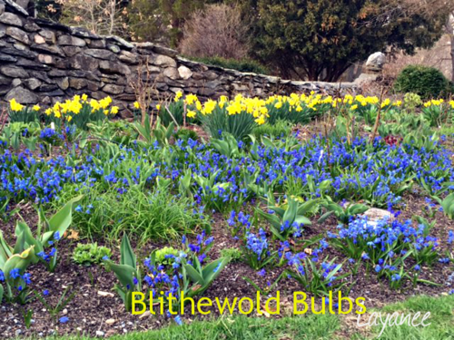 Blithewold scilla and daffodils