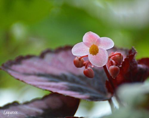 Begonia 1