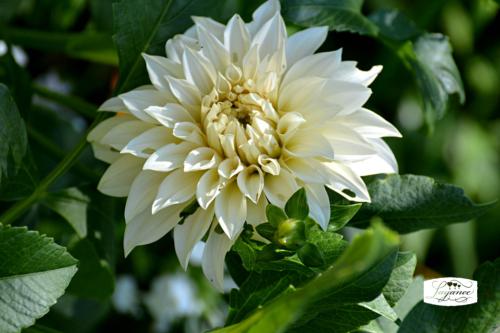 Bloomdaydahlia