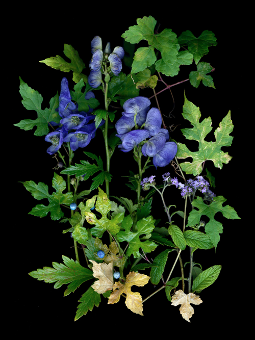 Monkshood scan