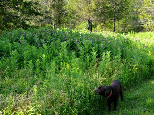 Milkweed mound