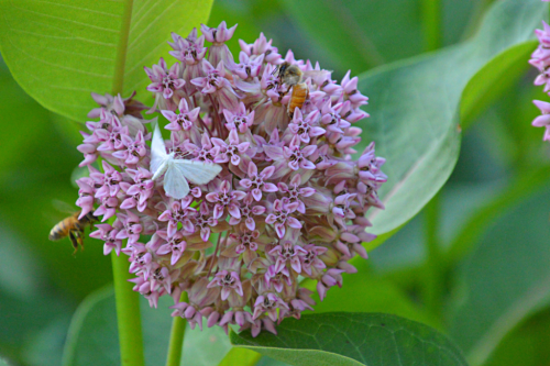 Milkweed moth and honeybee
