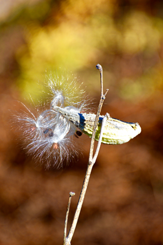 Milkweed pod and seed
